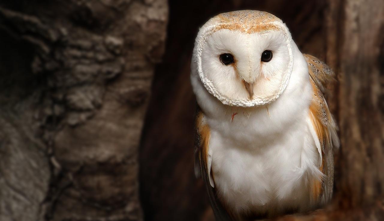 hp-owl hp-Tyto Athene