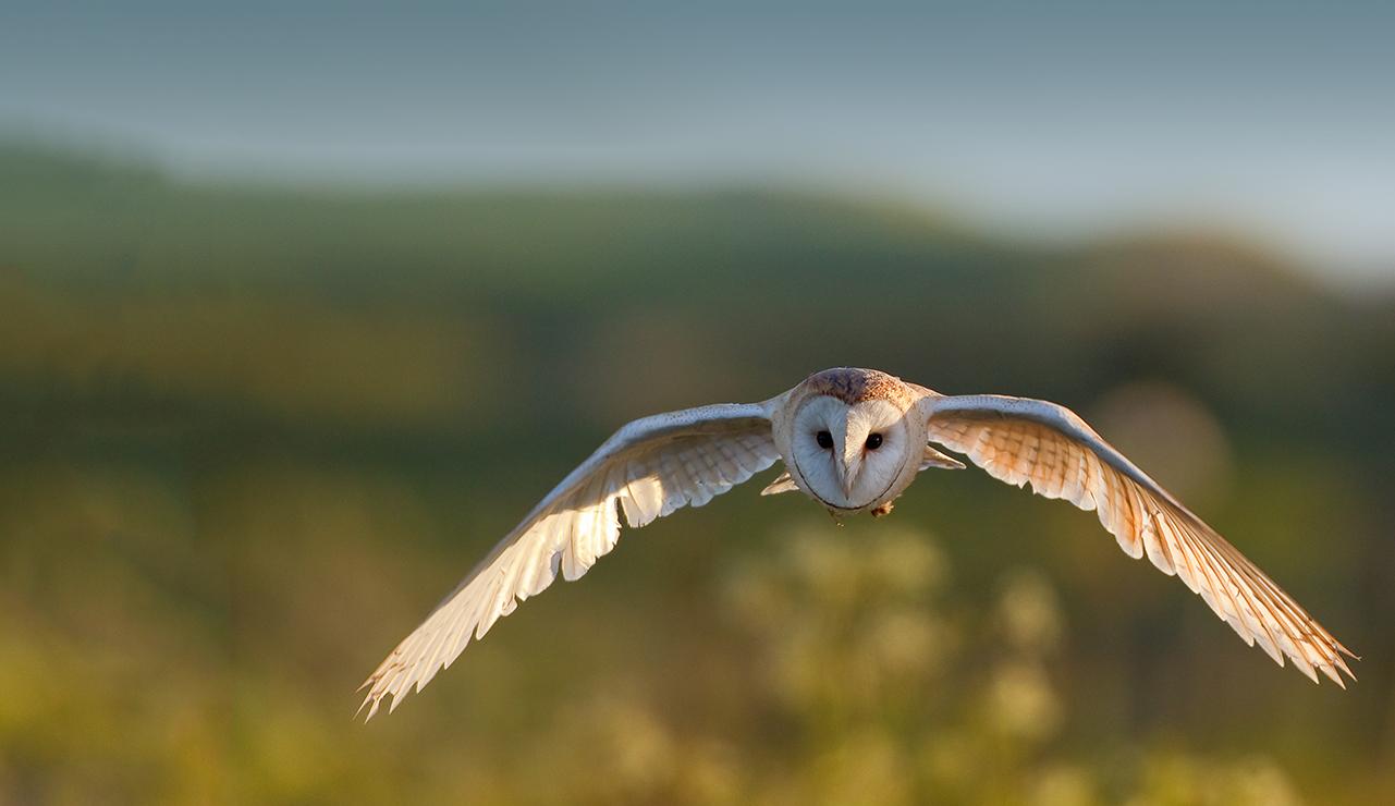 hp-owl3 Tyto Athene
