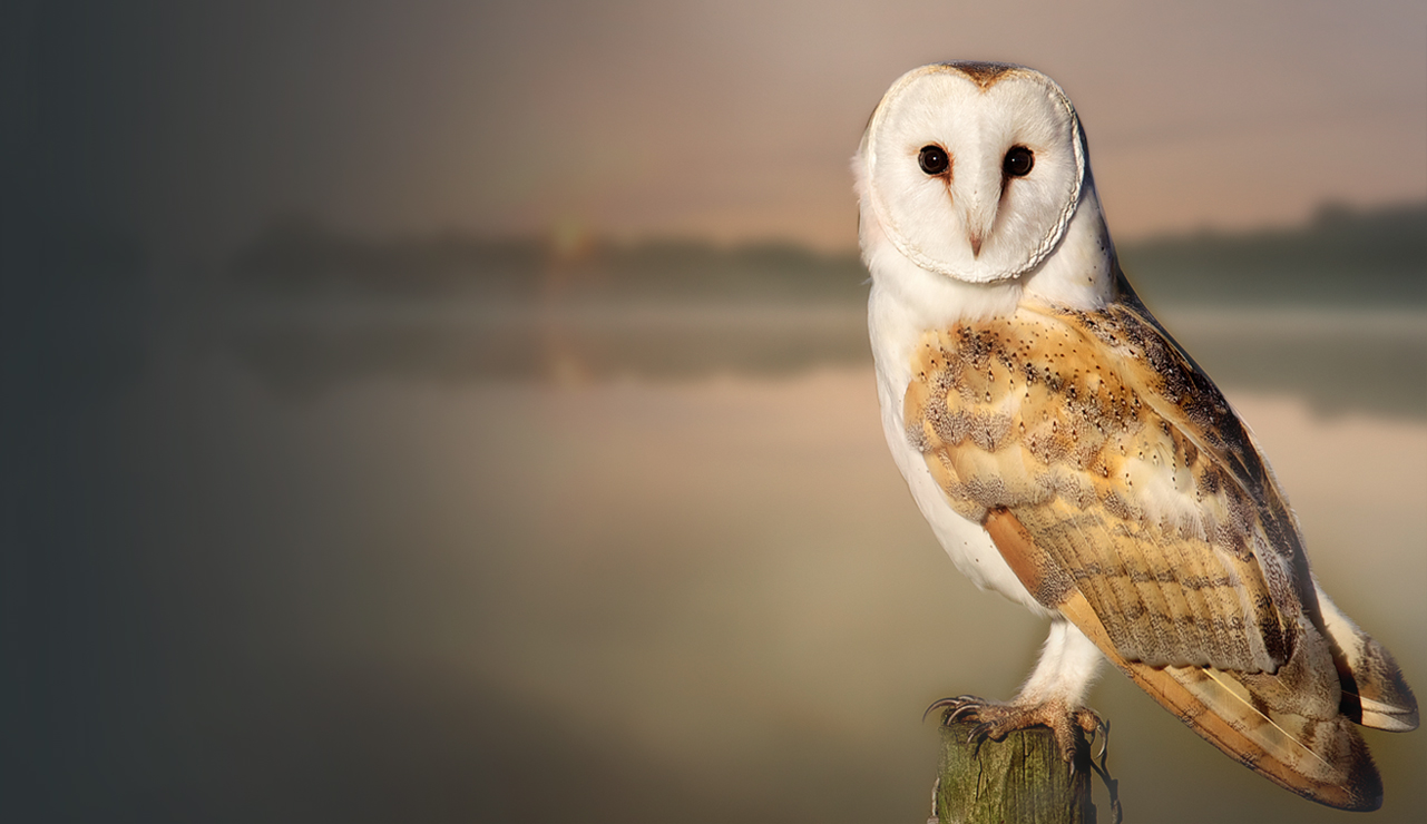 owl Tyto Athene