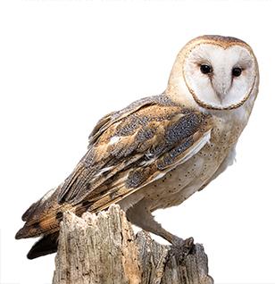 tyto athene owl